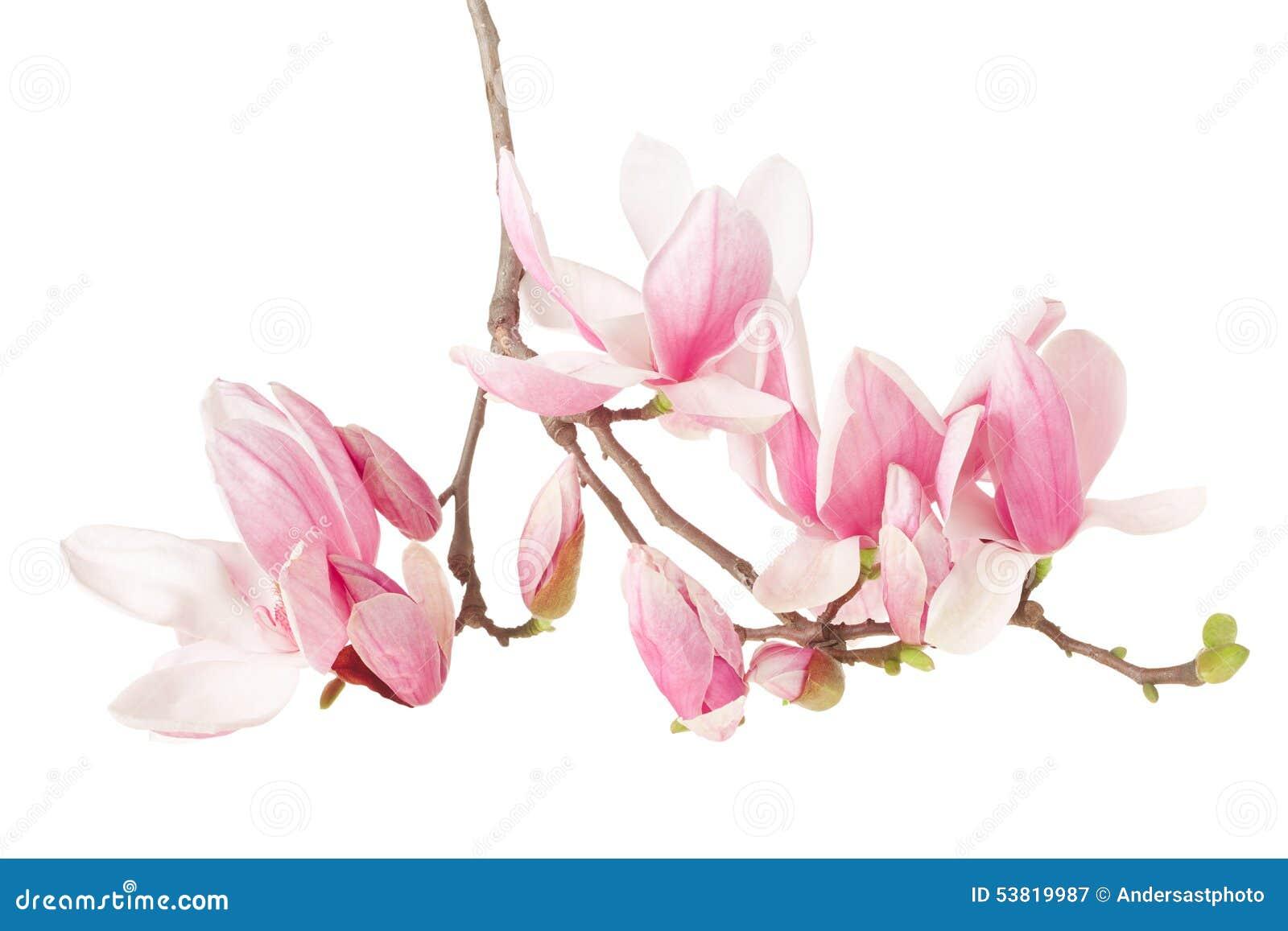 Magnolia ramo del fiore della molla fotografia stock for Magnolia pianta prezzi