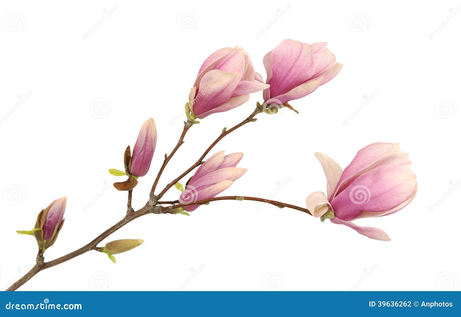 Magnolia rosa fotografia stock immagine di esterno for Magnolia pianta prezzi