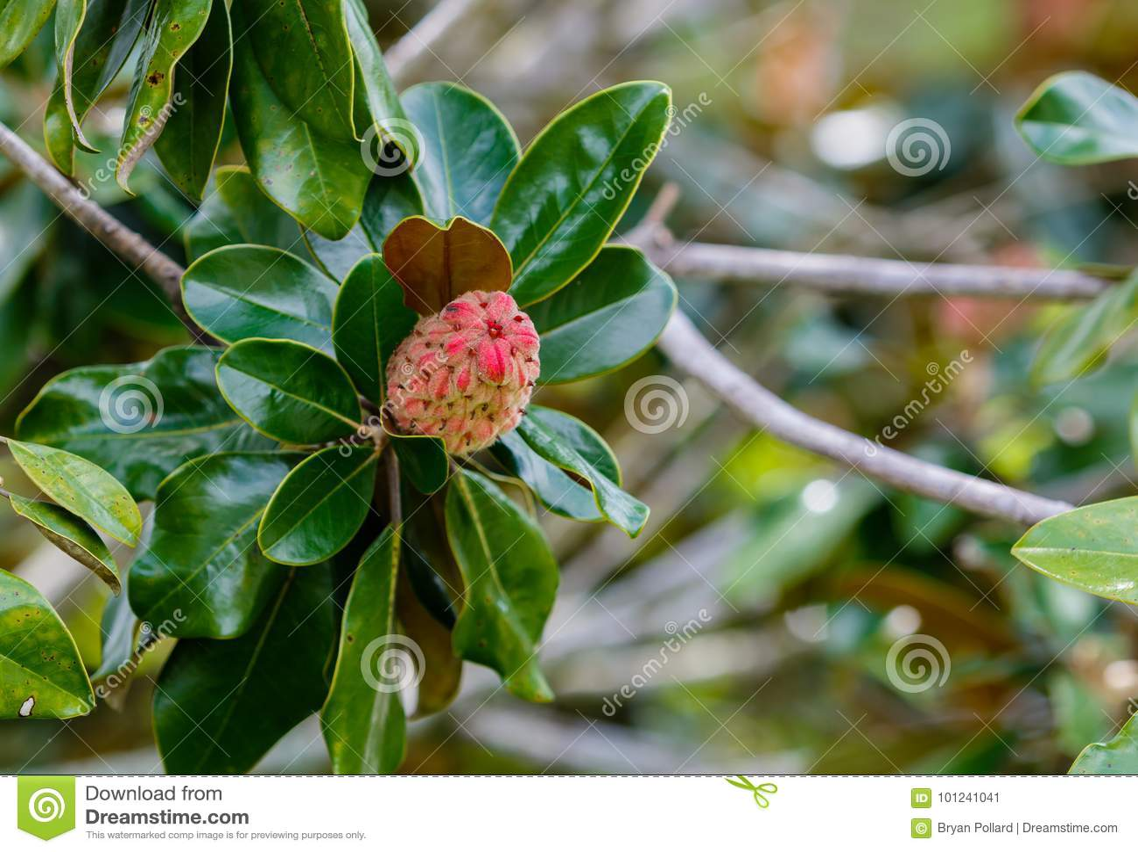 Magnolia Seed Pod Stock Image Image Of Florida Nature 101241041