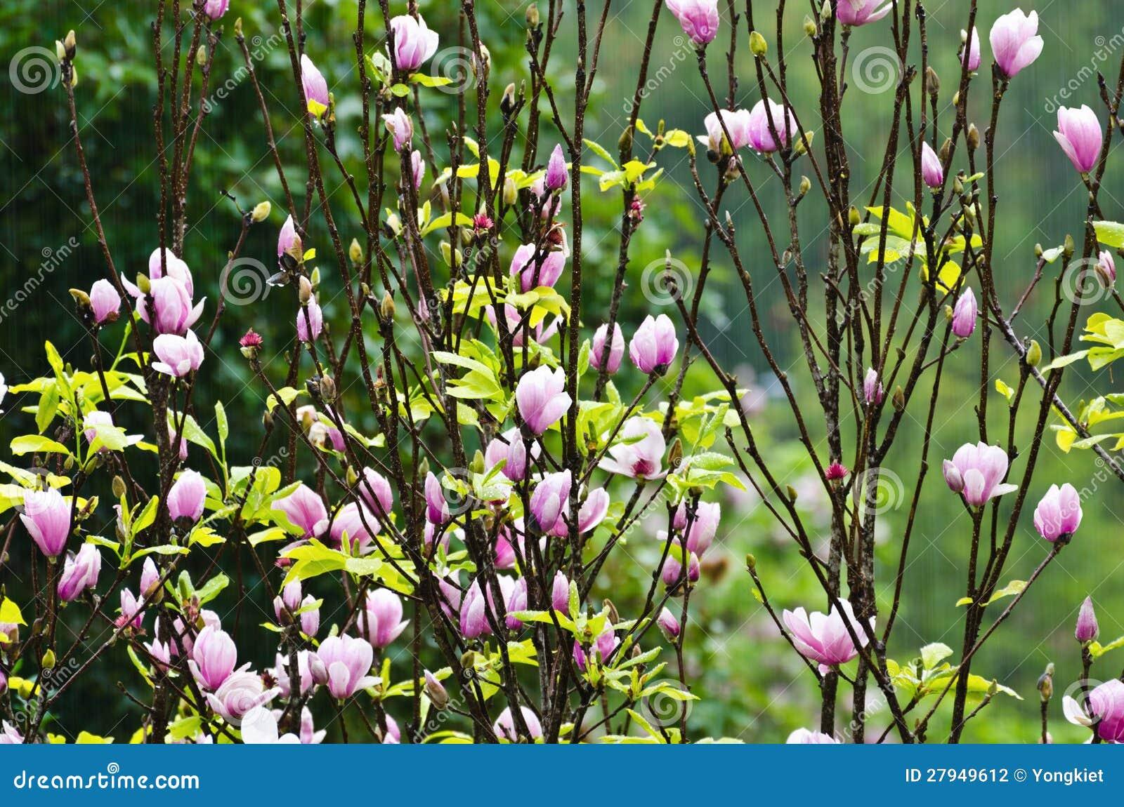 Magnolia soulangeana en hiver photo stock image du beau for Floraison hiver