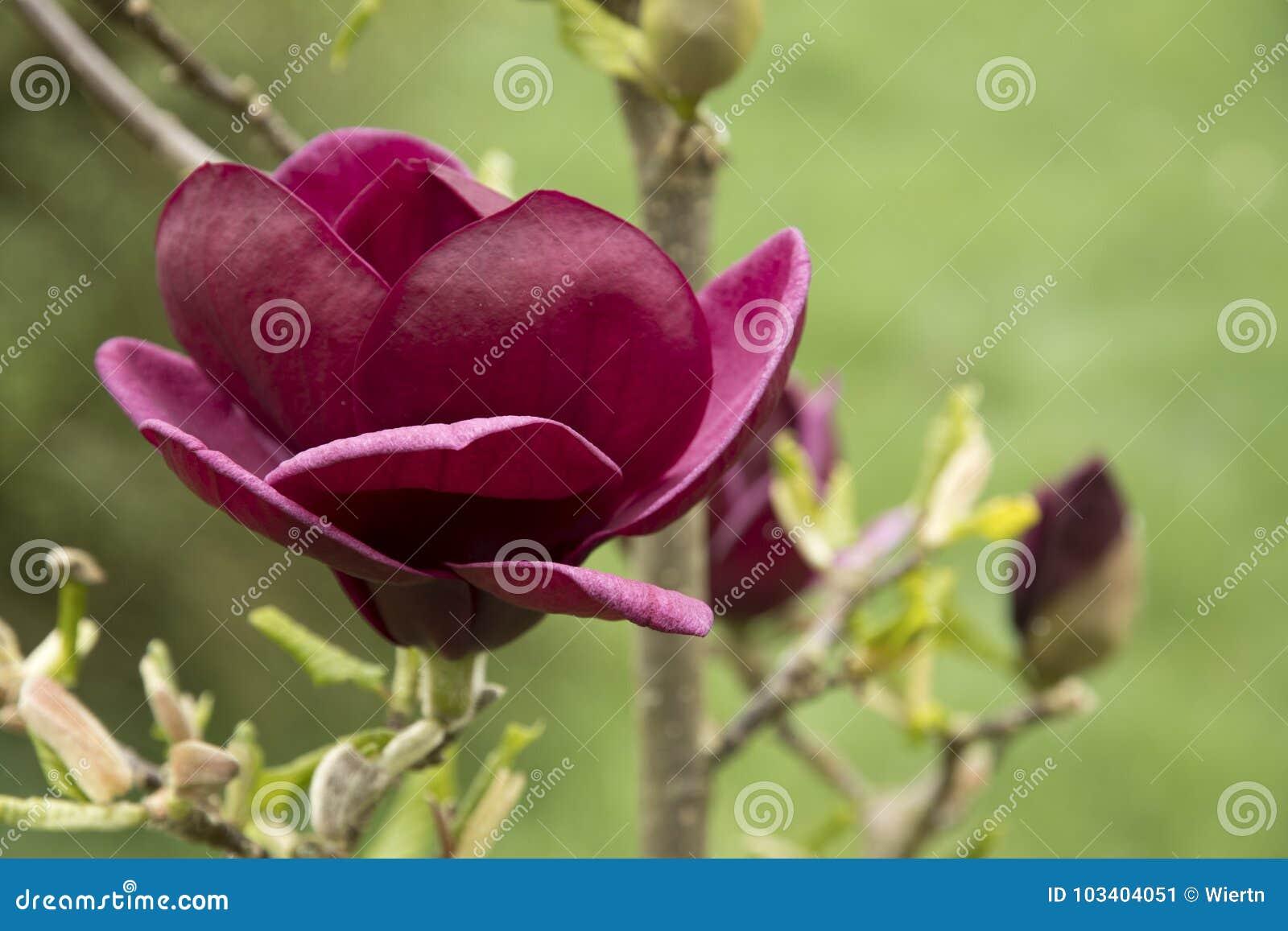 Magnolia Soulangeana X Liliiflora Genie Stock Image Image Of