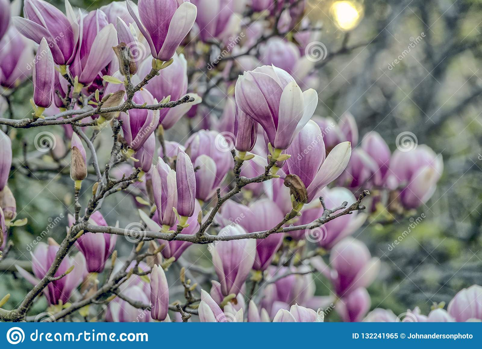 Saucer Magnolia In Early Spring Stock Image Image Of York Tree