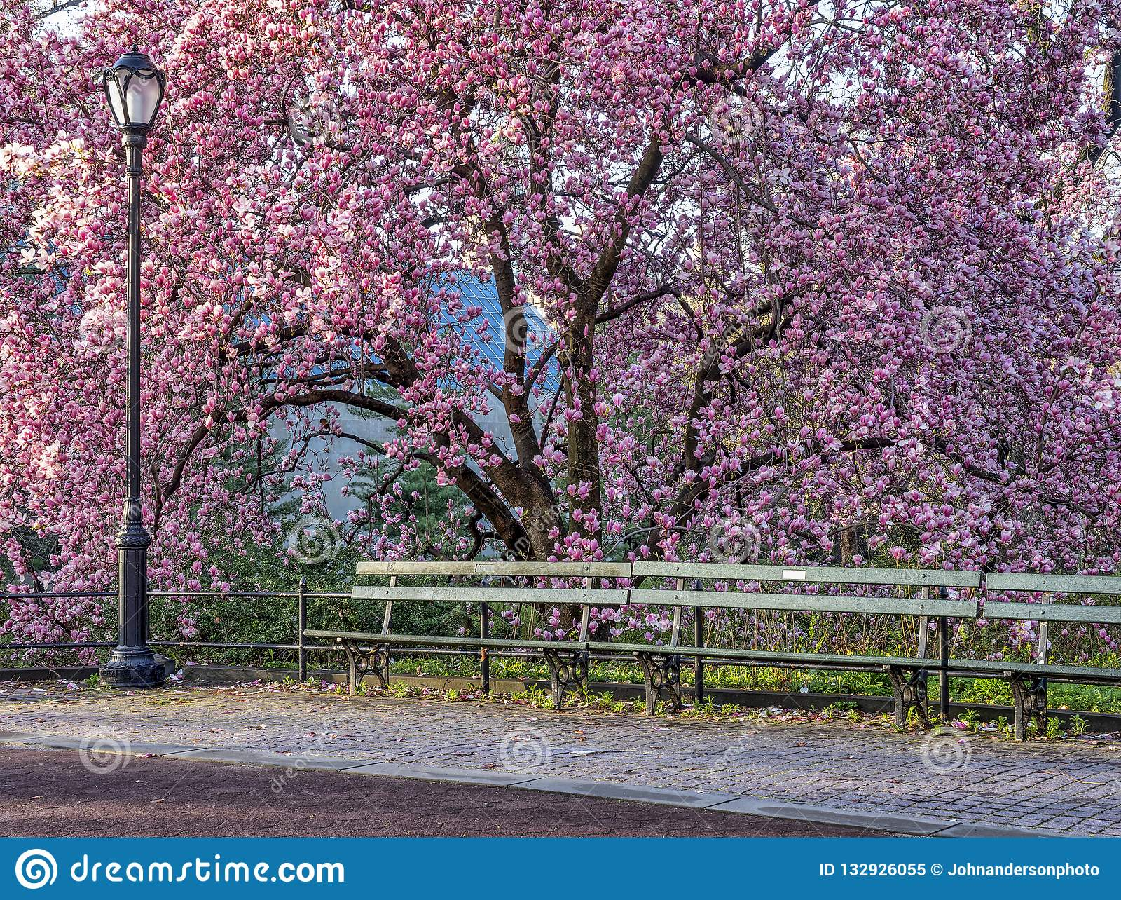Saucer Magnolia In Early Spring Stock Image Image Of Flower