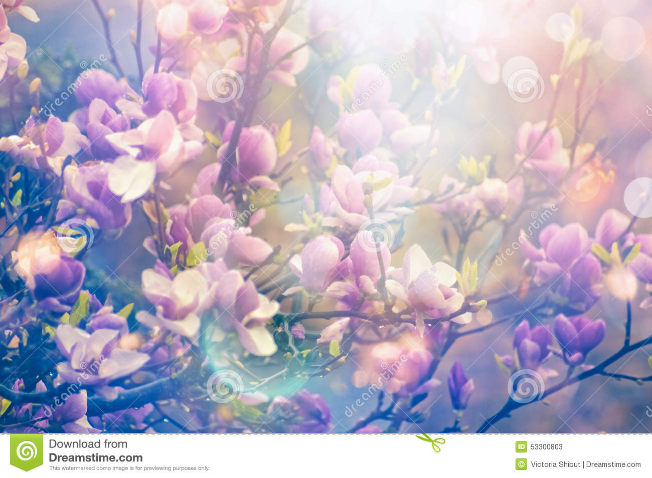 Magnolia spring blooming garden, blurred nature background with sun shine and bokeh