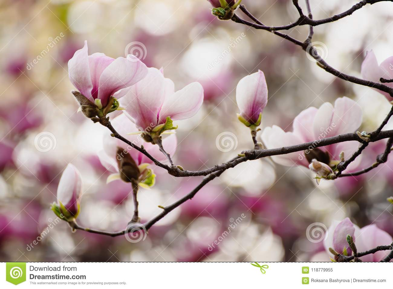 Magnolia Spring Flowers Stock Image Image Of Backgrounds 118779955