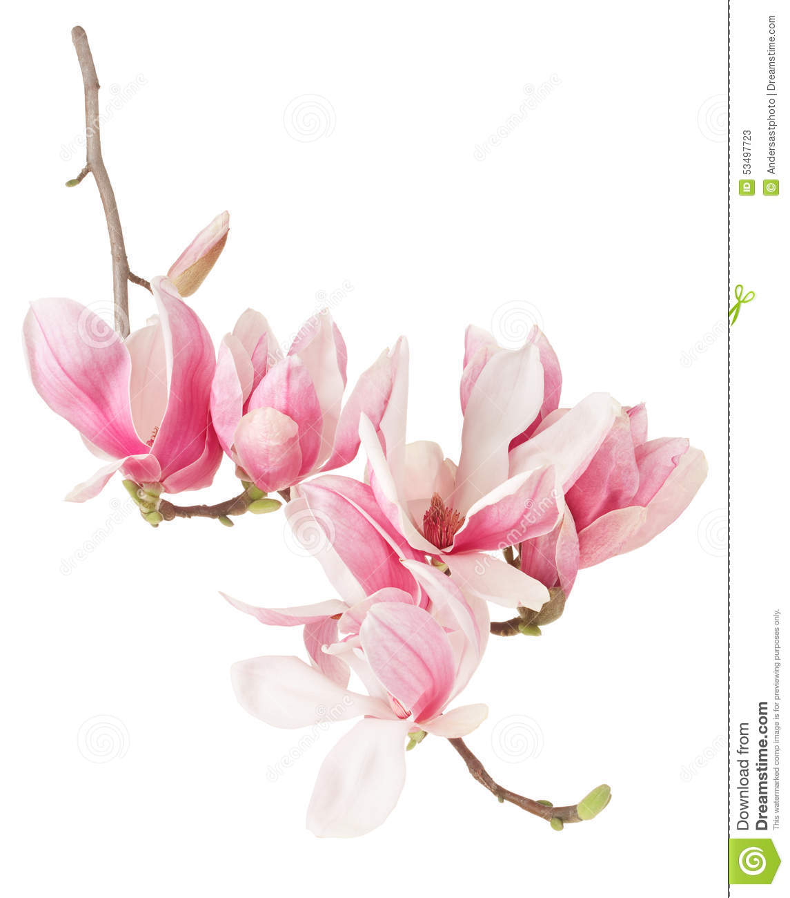 Magnolia Spring Pink Flower Branch And Buds Stock Image Image Of