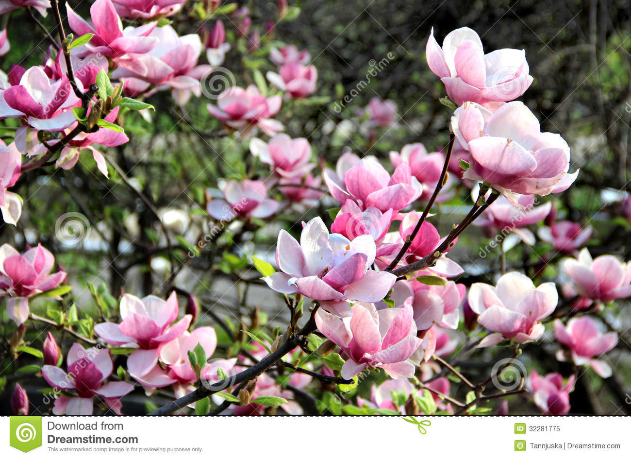 magnolia spring trees in bloom royalty free stock photo image