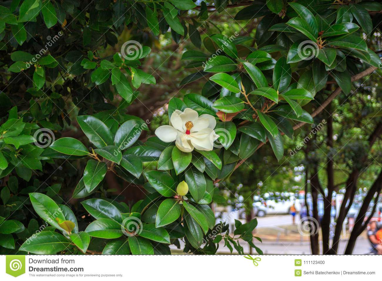 The Magnolia Tree. Beautiful White Magnolia Flower On A Tree Stock ...