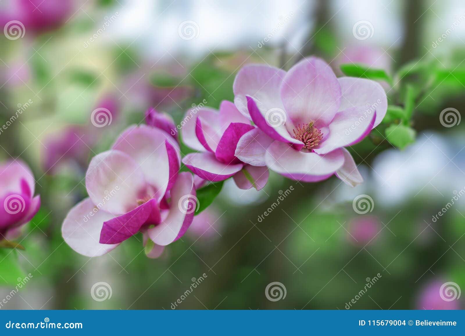 Magnolia Tree In Bloom Beautiful Purple Flowers In Spring Stock