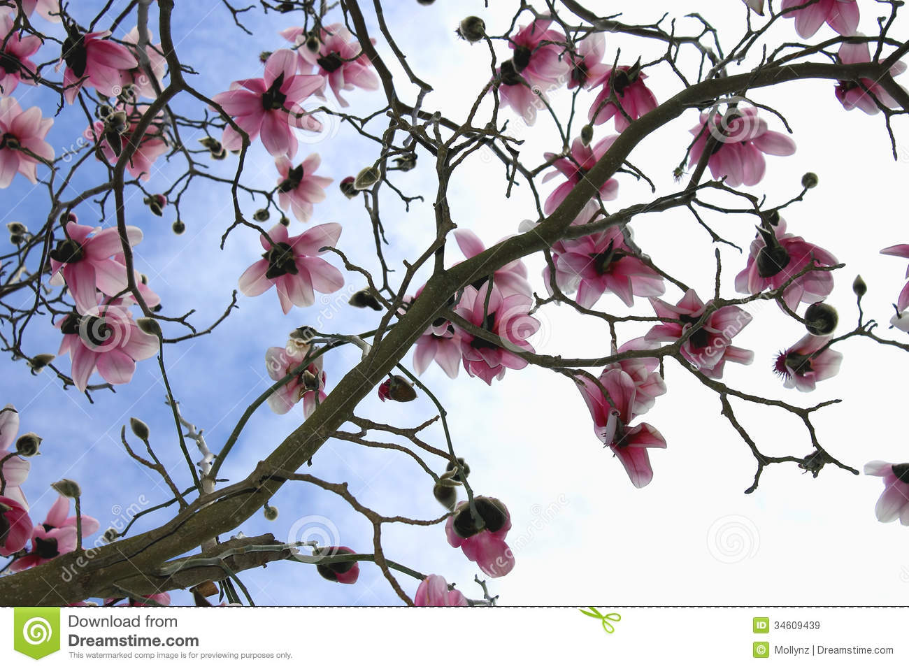 Magnolia Tree In Bloom Stock Image Image Of Blue Tree 34609439