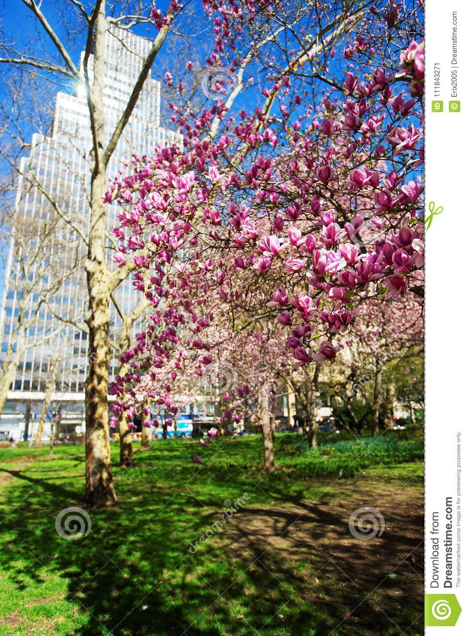 Magnolia Tree Blooming In City Hall Park Lower Manhattan Usa Stock