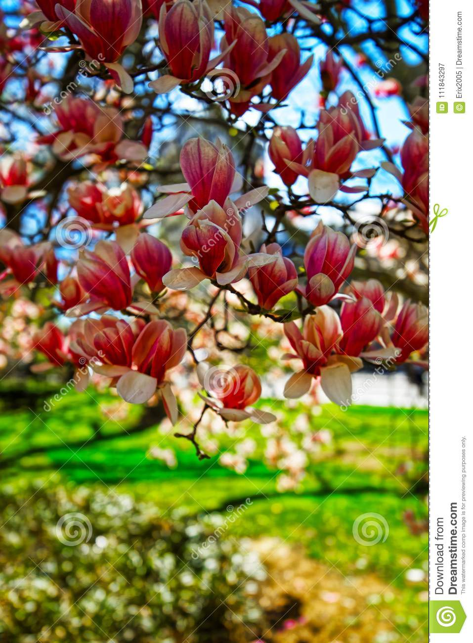 Magnolia Tree Blooming City Hall Park Lower Manhattan Usa Stock