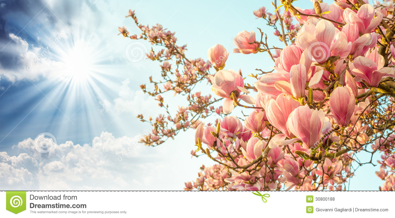 Magnolia Tree Blossom With Colourful Sky On Background Stock Photo