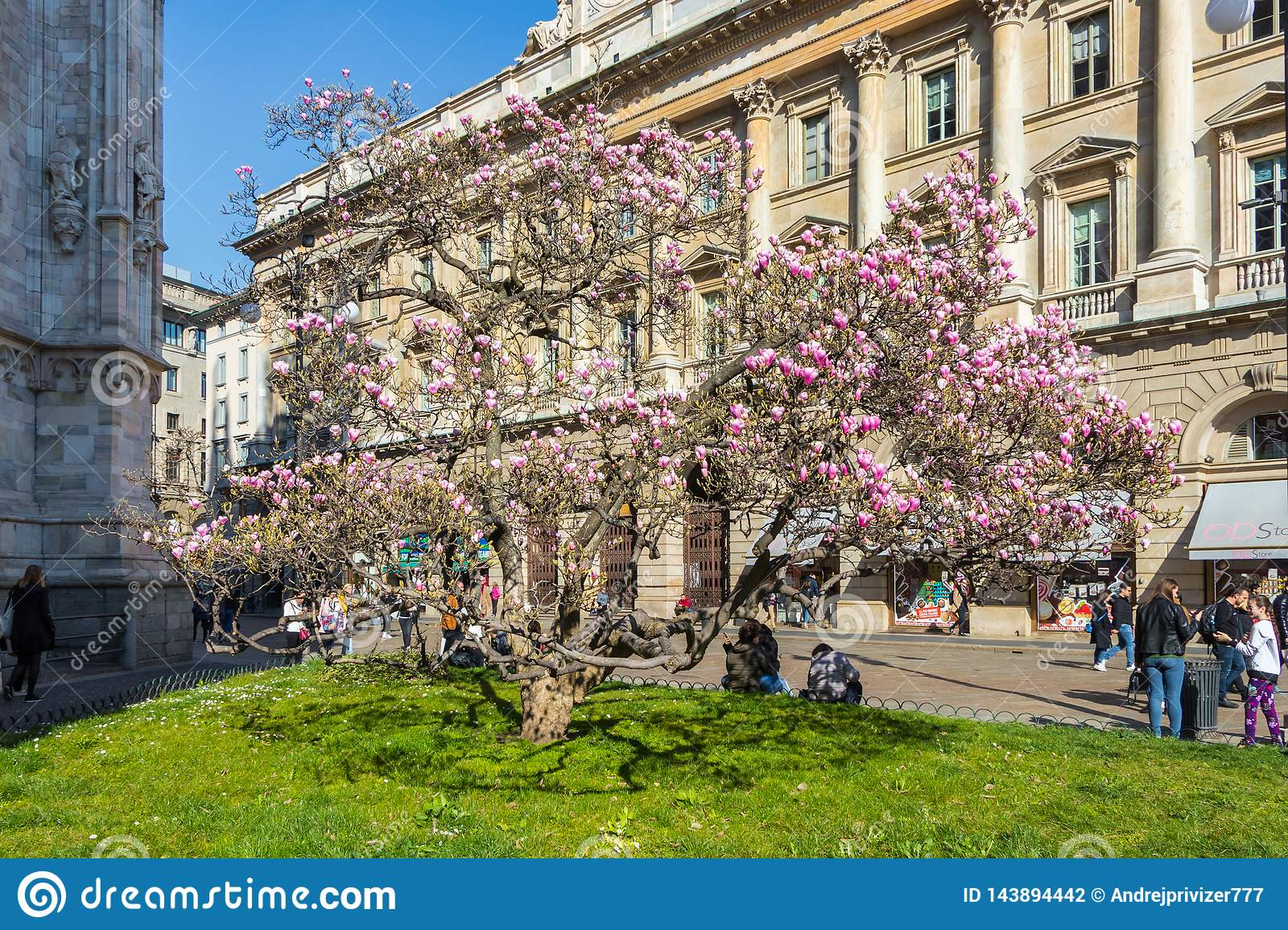 Magnolia Tree Blossom Near Milan Duomo Cathedral Italy Editorial Photography Image Of Holiday Botanist 143894442