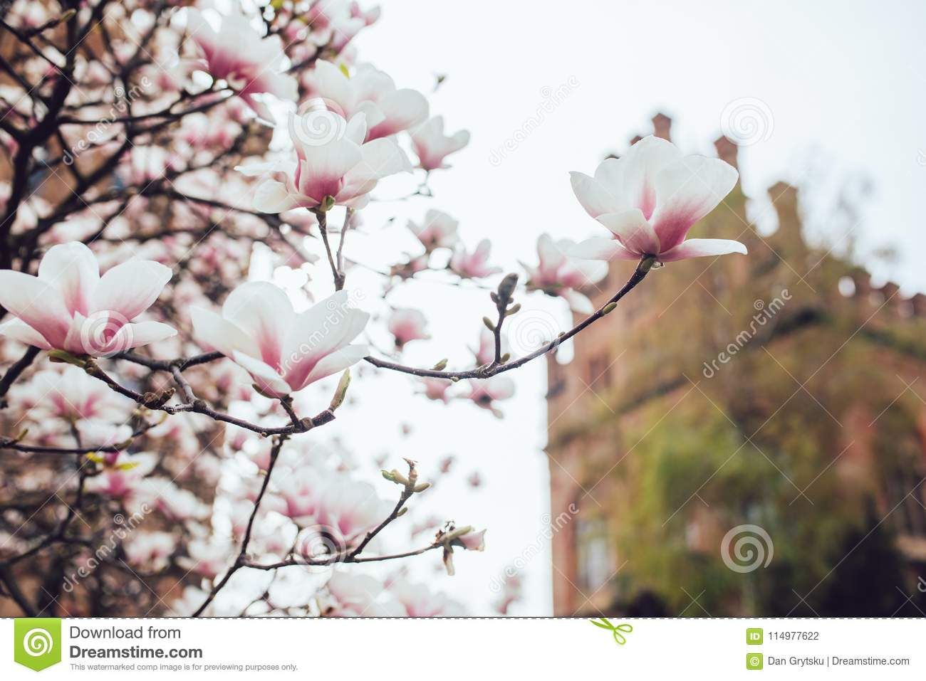 Magnolia Tree Blossom Outdoors Spring Time Stock Photo Image Of Magnoliatree Bloom 114977622
