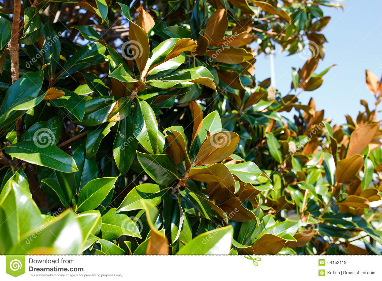 Magnolia Tree Branches Without Flowers In Autumn Stock Image - Image ...