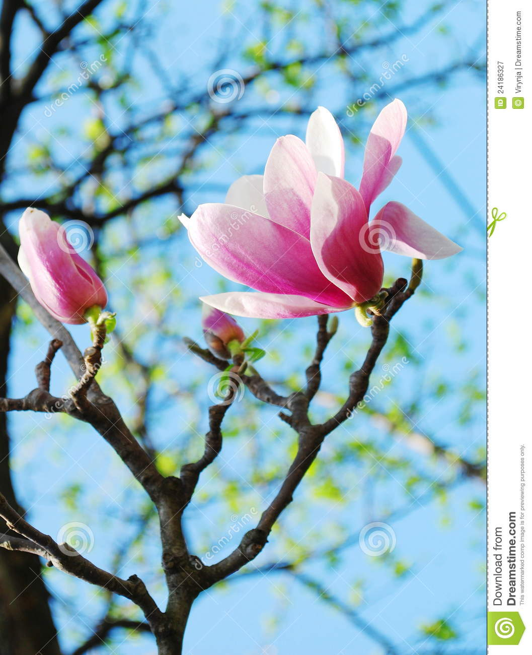 Magnolia Tree Flowers Royalty Free Stock Photography