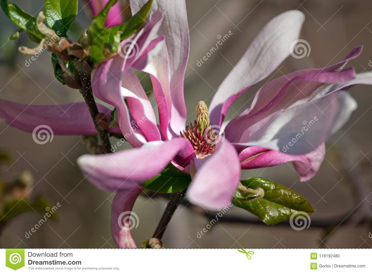 Magnolia Tree Flowers Nature Summer Stock Photo Image Of Bloom