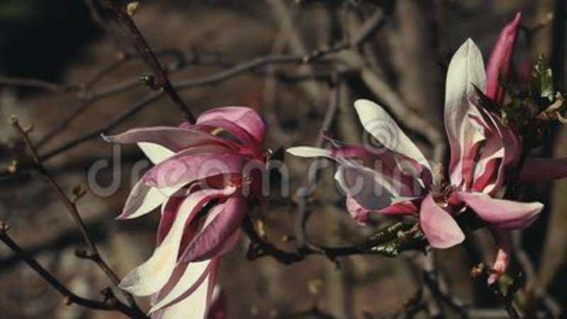 Magnolia Tree Flowers Nature Summer Stock Video Video Of Flowers