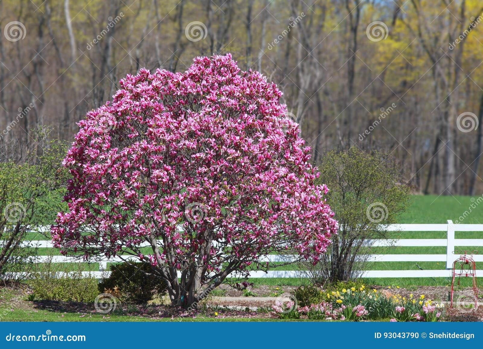Magnolia Tree Stock Photo Image Of Bloom Contrasts 93043790