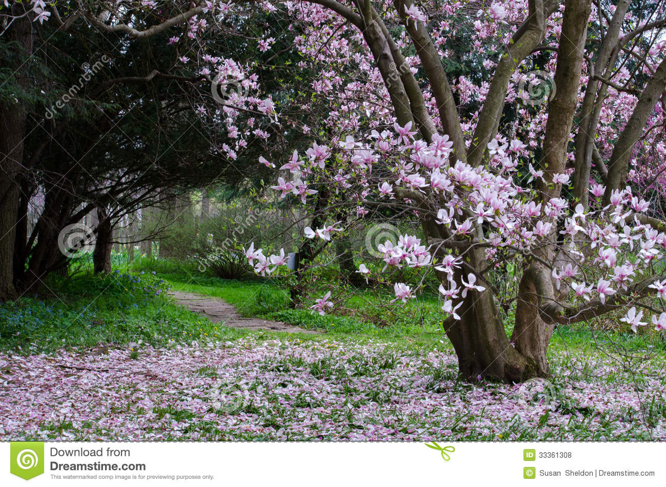Magnolia Tree In Full Bloom Stock Photo Image Of Fragile