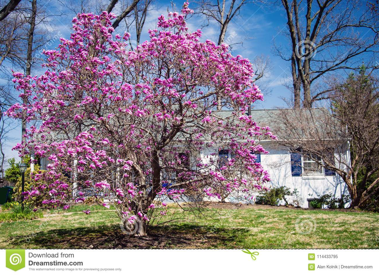 Magnolia Tree In Full Bloom In Maryland Usa Stock Image Image Of