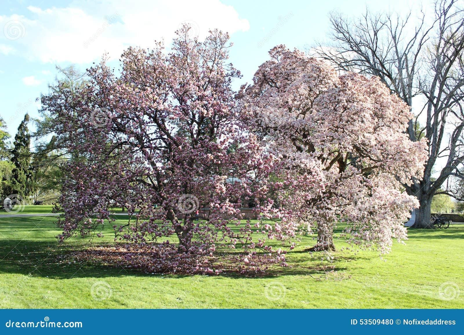 Magnolia Tree Pennsylvania Stock Photo Image Of Gettysburg 53509480