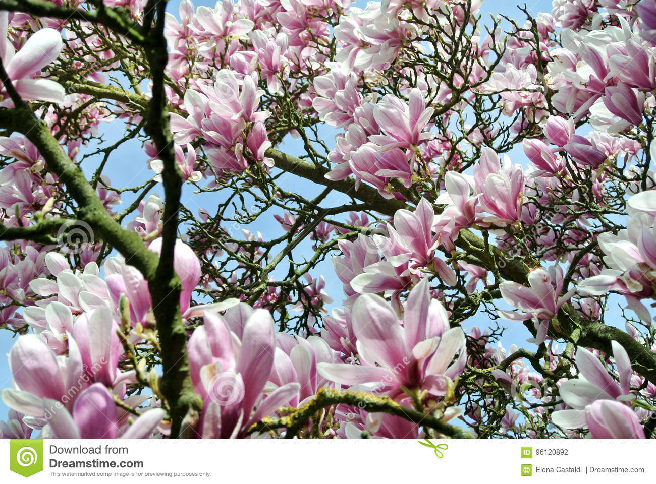 Magnolia Stock Photo Image Of Floral Beautiful Pink 96120892