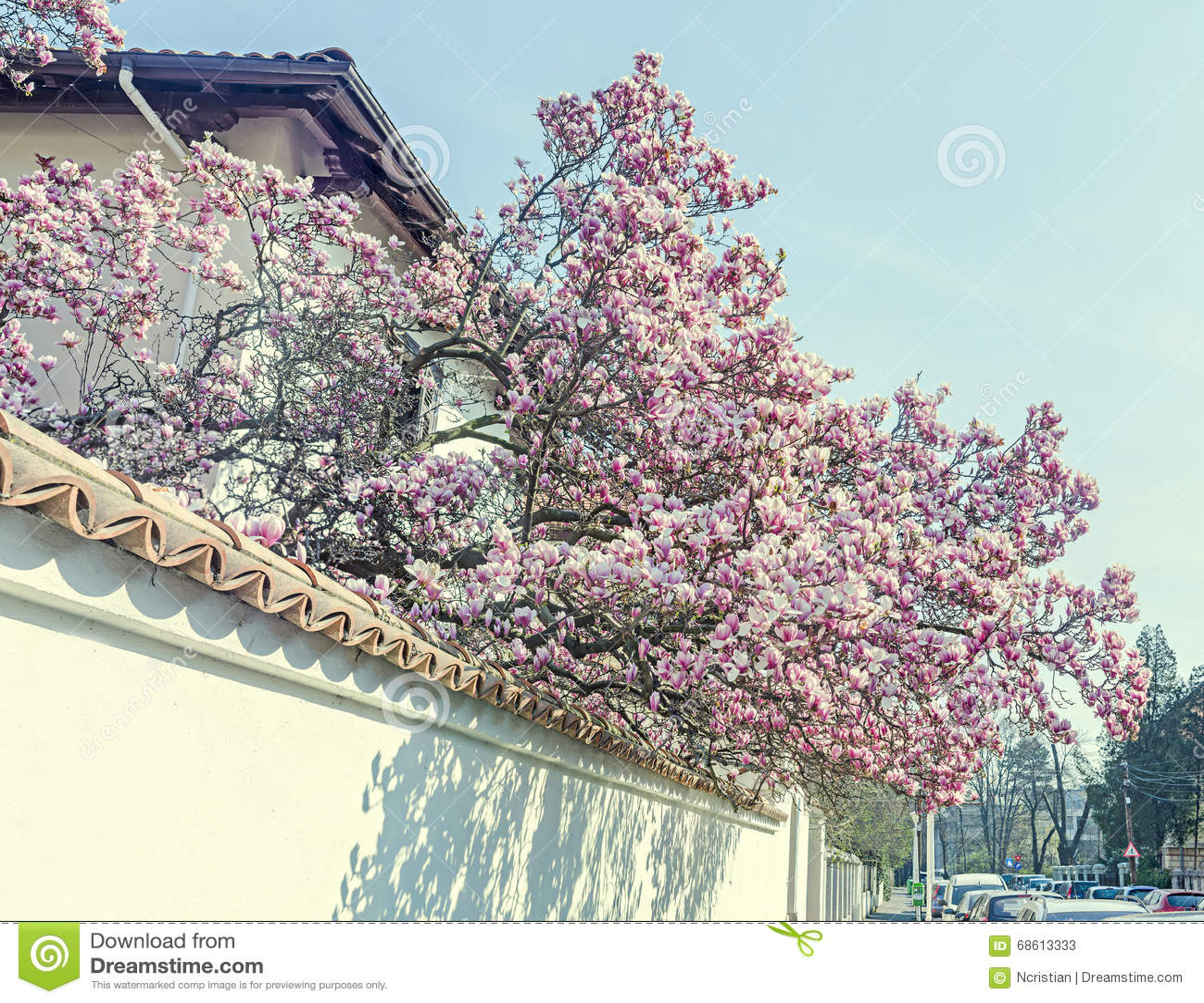 Magnolia Tree Pink Purple Flowers Blue Sky Outdoor Stock Image