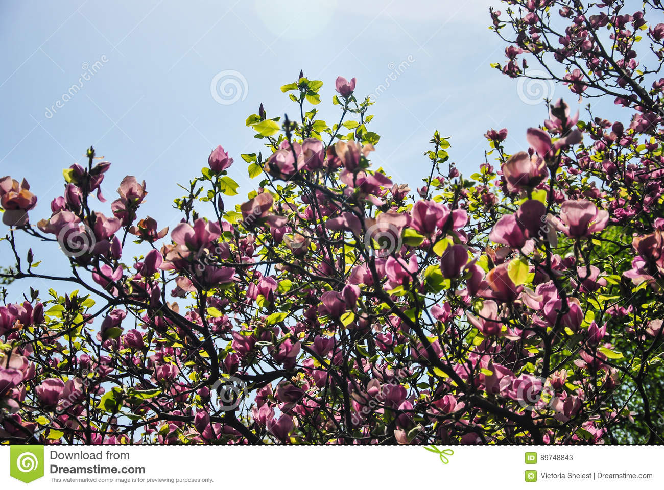 Magnolia tree with a plenty of pink and purple flowers at botanical download magnolia tree with a plenty of pink and purple flowers at botanical garden stock image mightylinksfo