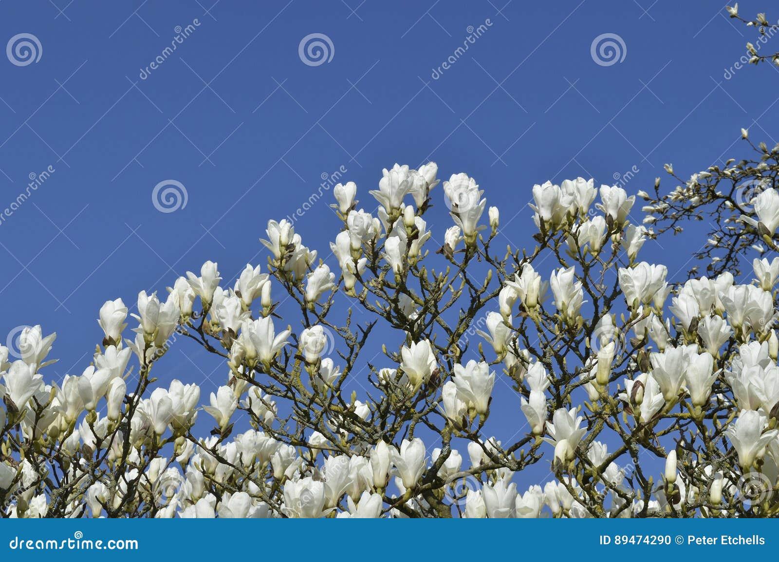 Magnolia Tree White Flowers Stock Photo Image Of Blossom Denudata