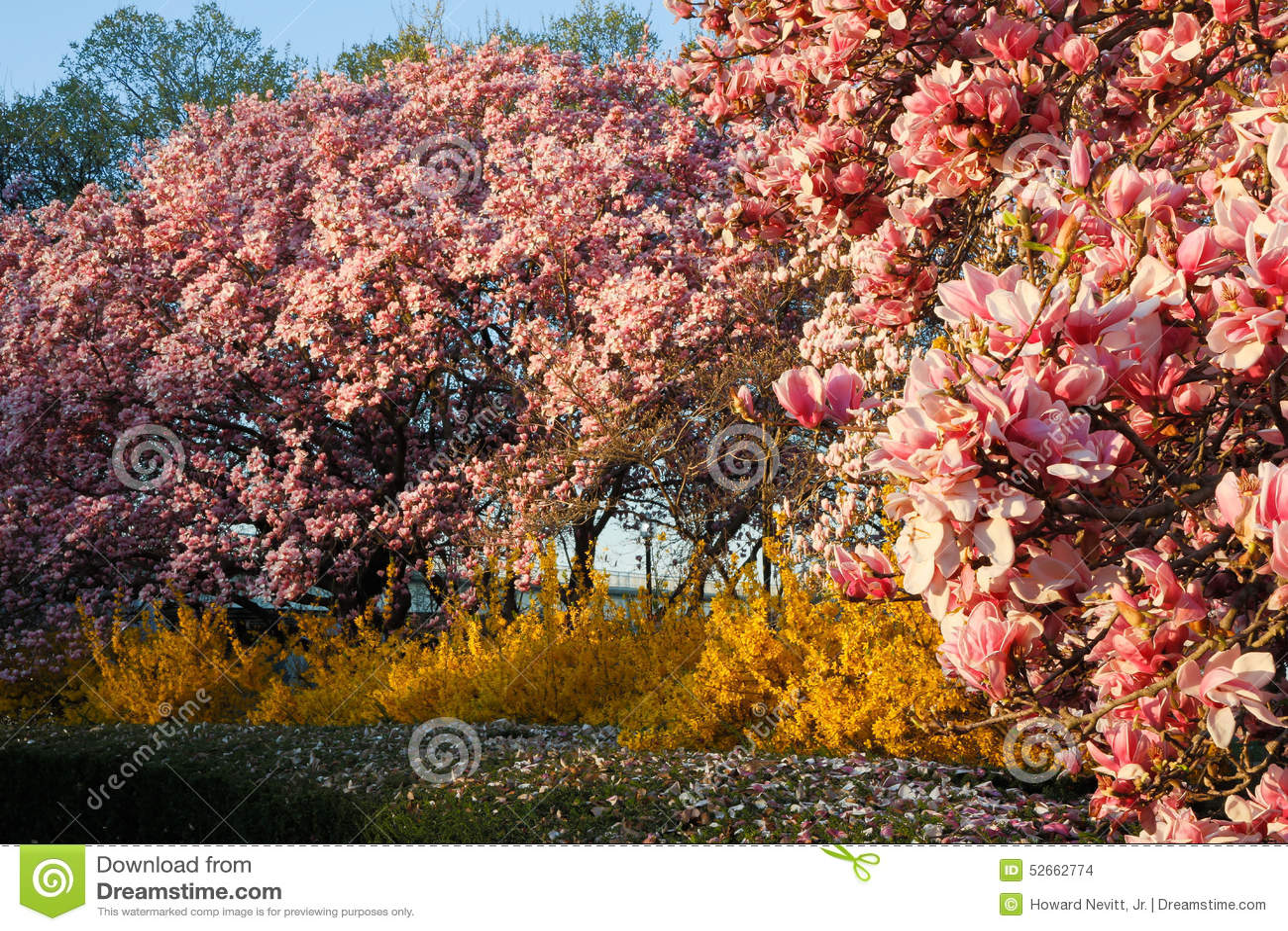 Magnolia Trees And Forsythia Bushes Stock Photo Image Of Magnolia