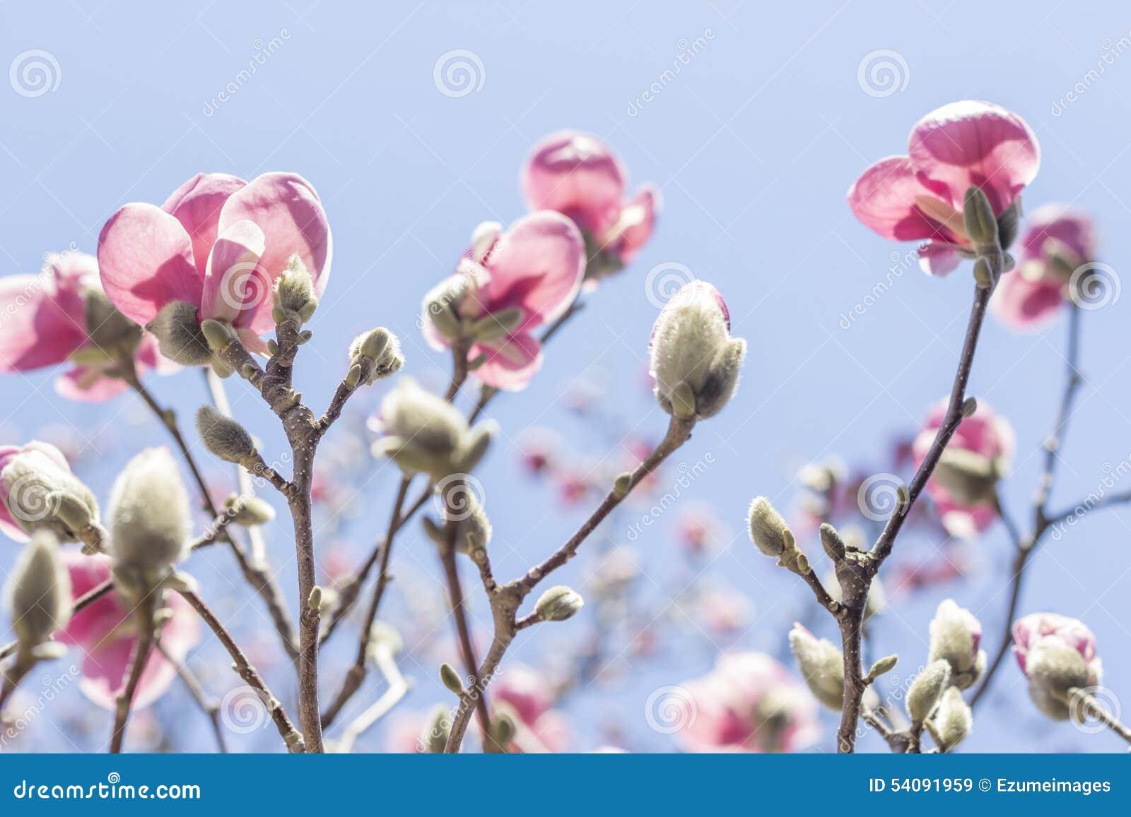 Magnolia Tulip Tree