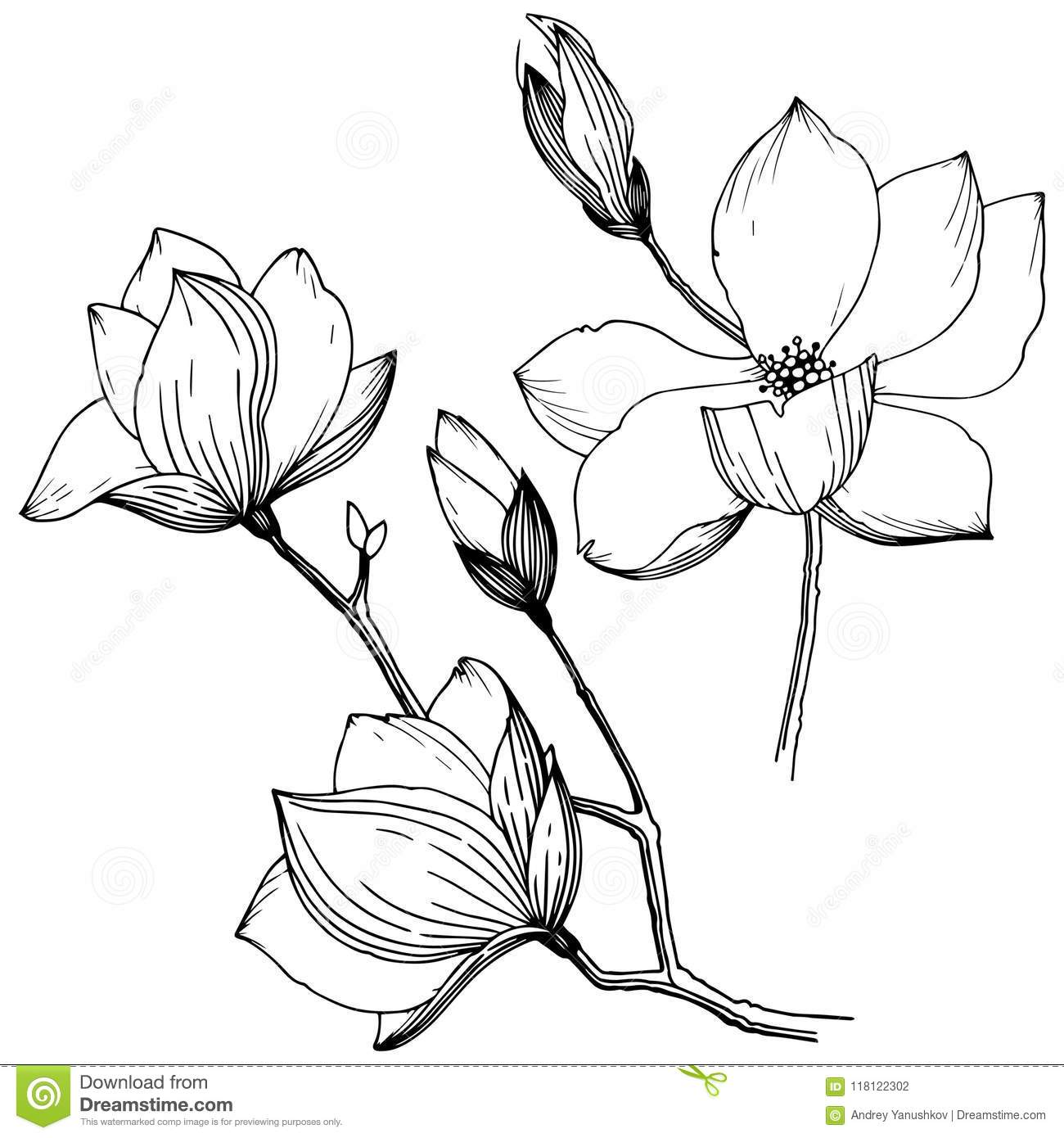 Magnolia In A Vector Style Isolated Full Name Of The Plant