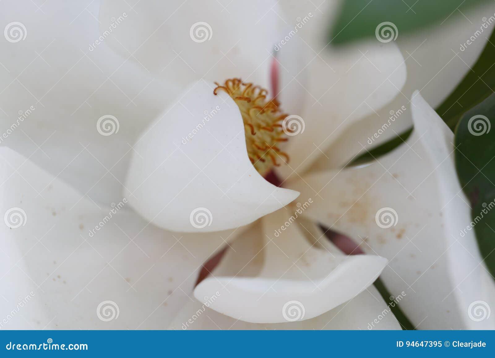 Magnolia white flower in full bloom stock image image of flowers download magnolia white flower in full bloom stock image image of flowers bloom mightylinksfo
