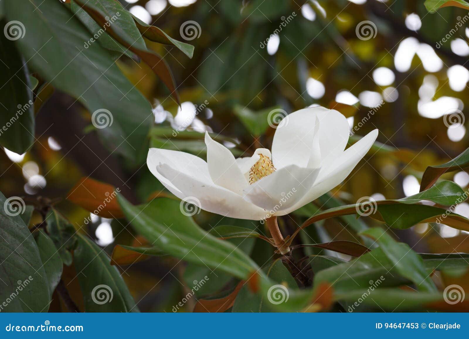 Magnolia white flower in full bloom stock image image of medicine download magnolia white flower in full bloom stock image image of medicine trees mightylinksfo