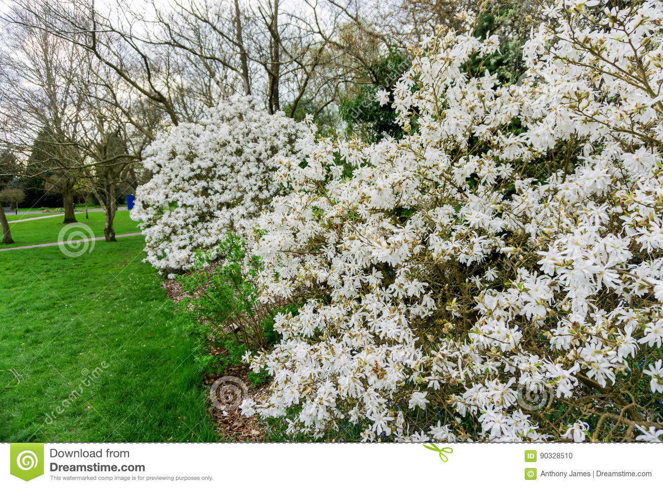 Magnolia White Flowers On A Tree In A Park In The Countryside Stock