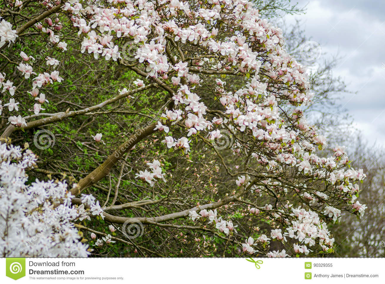 Magnolia White Flowers On A Tree In A Park In The Countryside In The