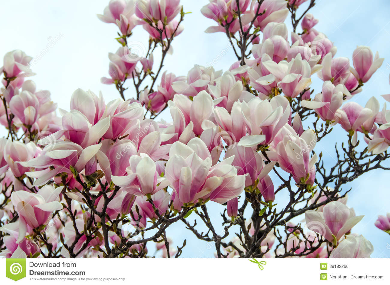 Magnolia White Pink Flowers Stock Photo Image Of Tranquility