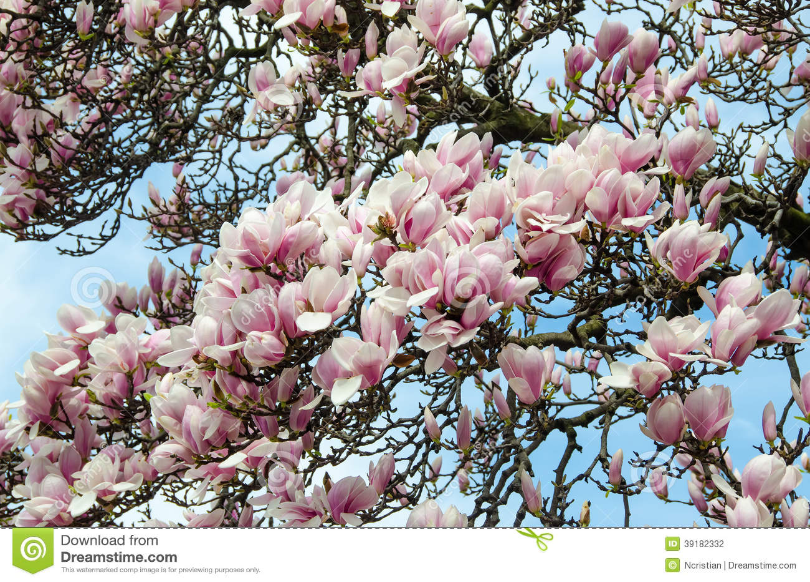Magnolia White Pink Flowers Stock Photo Image Of Season Plant