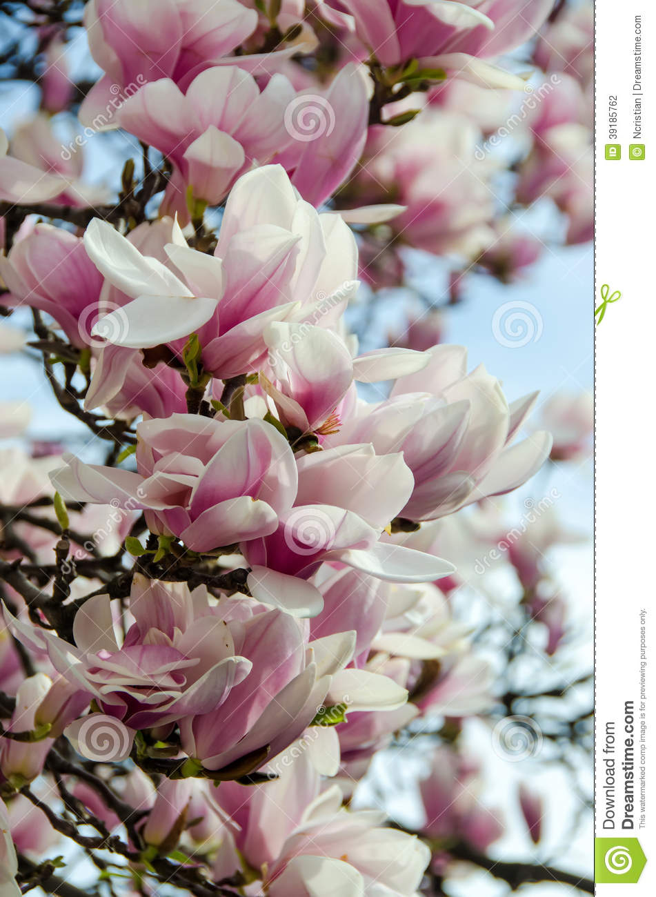 Magnolia White Pink Flowers Stock Photo Image Of Flower Fresh