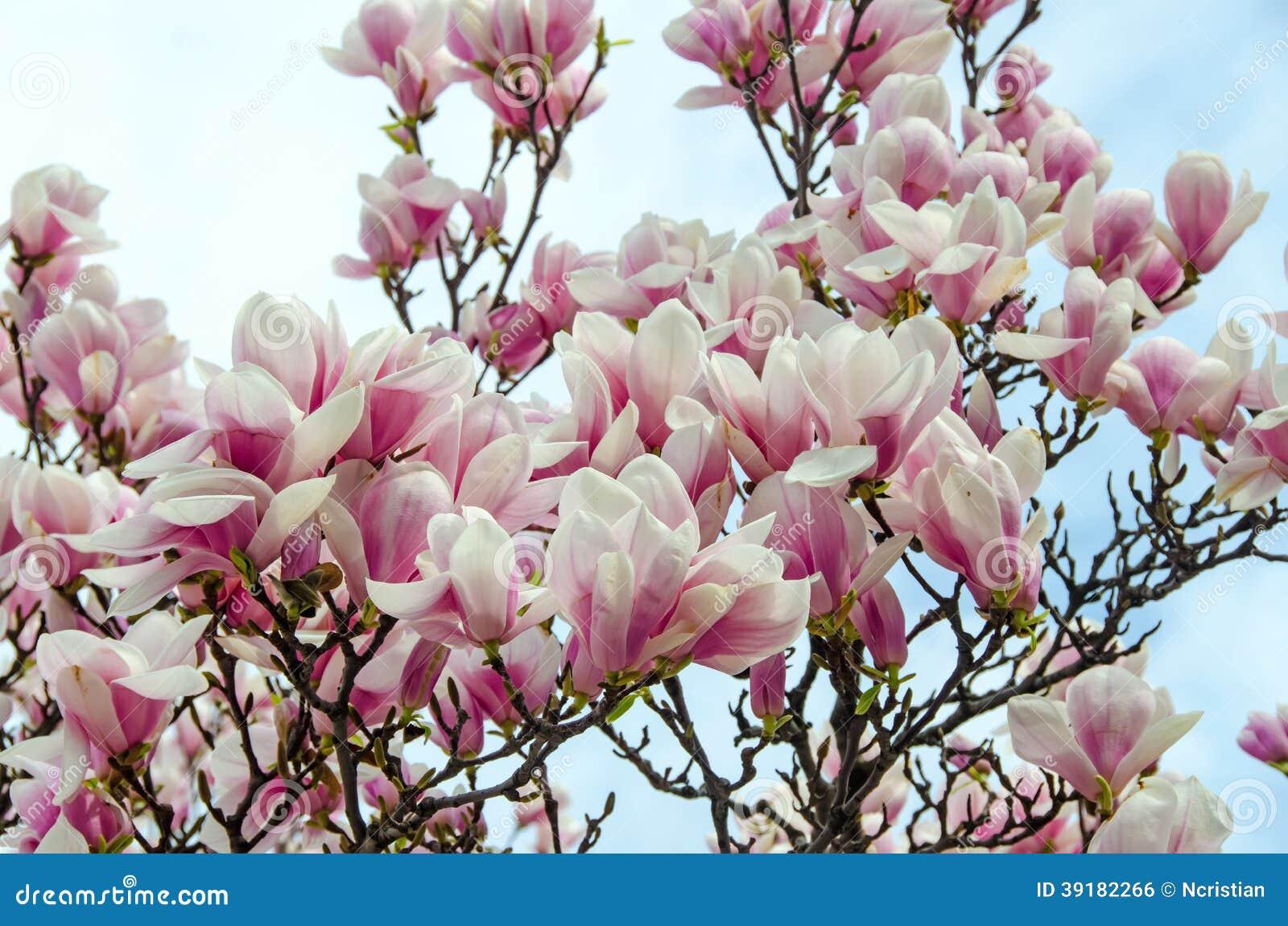 Magnolia Wit-roze Bloemen Stock Foto - Afbeelding: 39182266