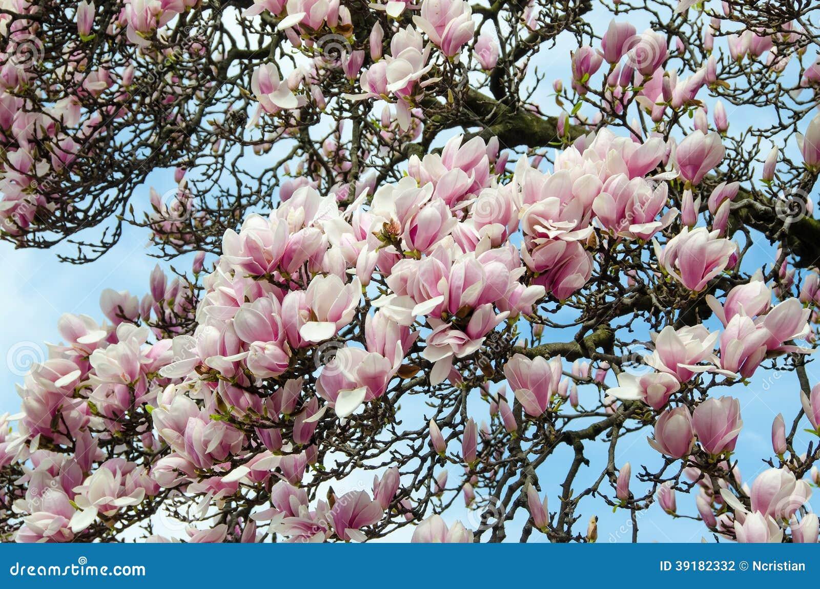 Magnolia Wit-roze Bloemen Stock Foto - Beeld: 39182332