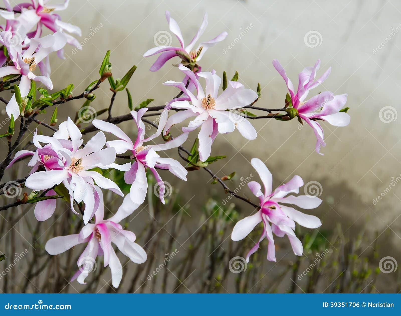 Magnolia Wit-roze Bloemen Stock Foto - Afbeelding: 39351706