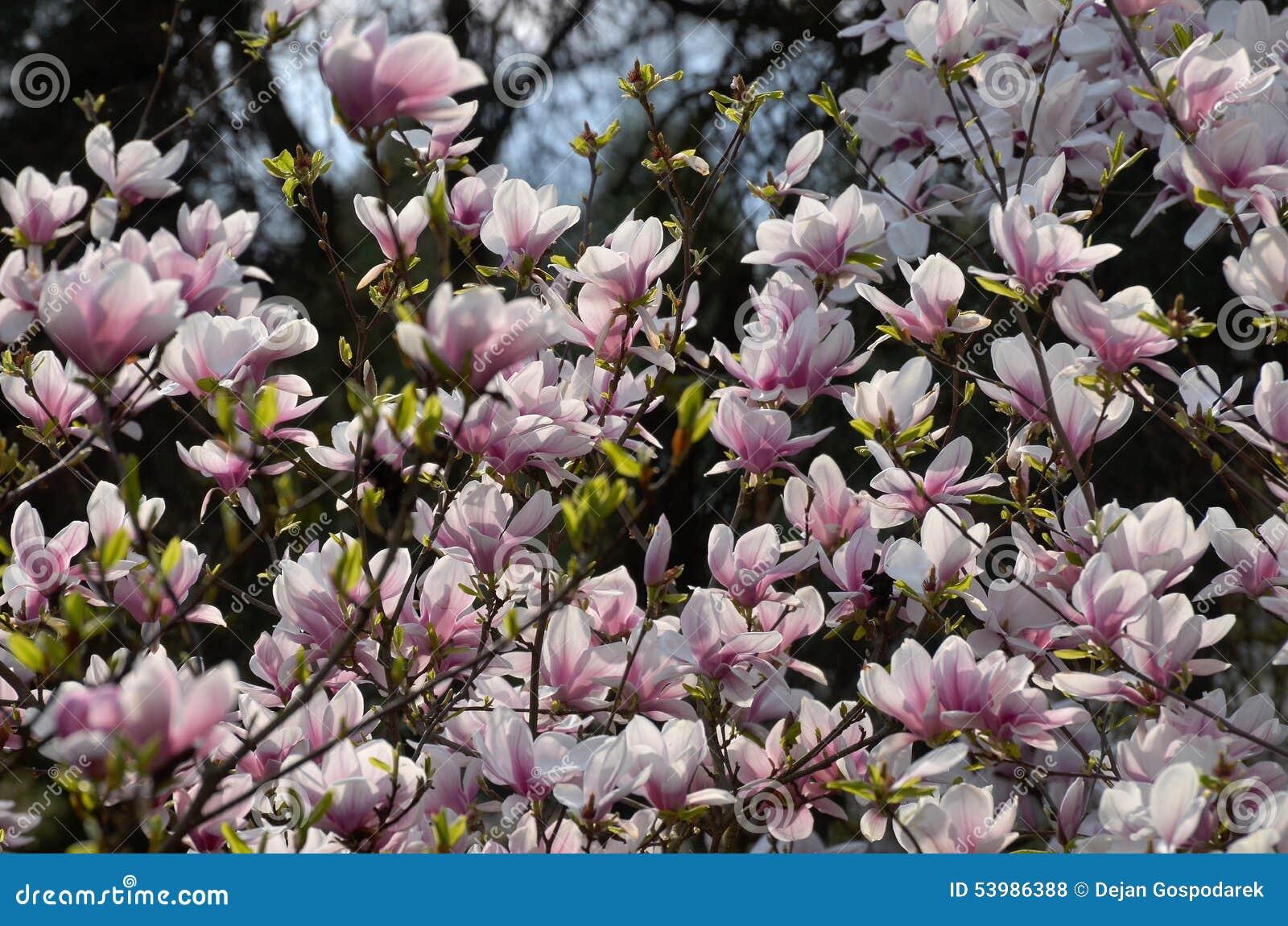 magnolia x soulangeana alexandrina stock photo image. Black Bedroom Furniture Sets. Home Design Ideas