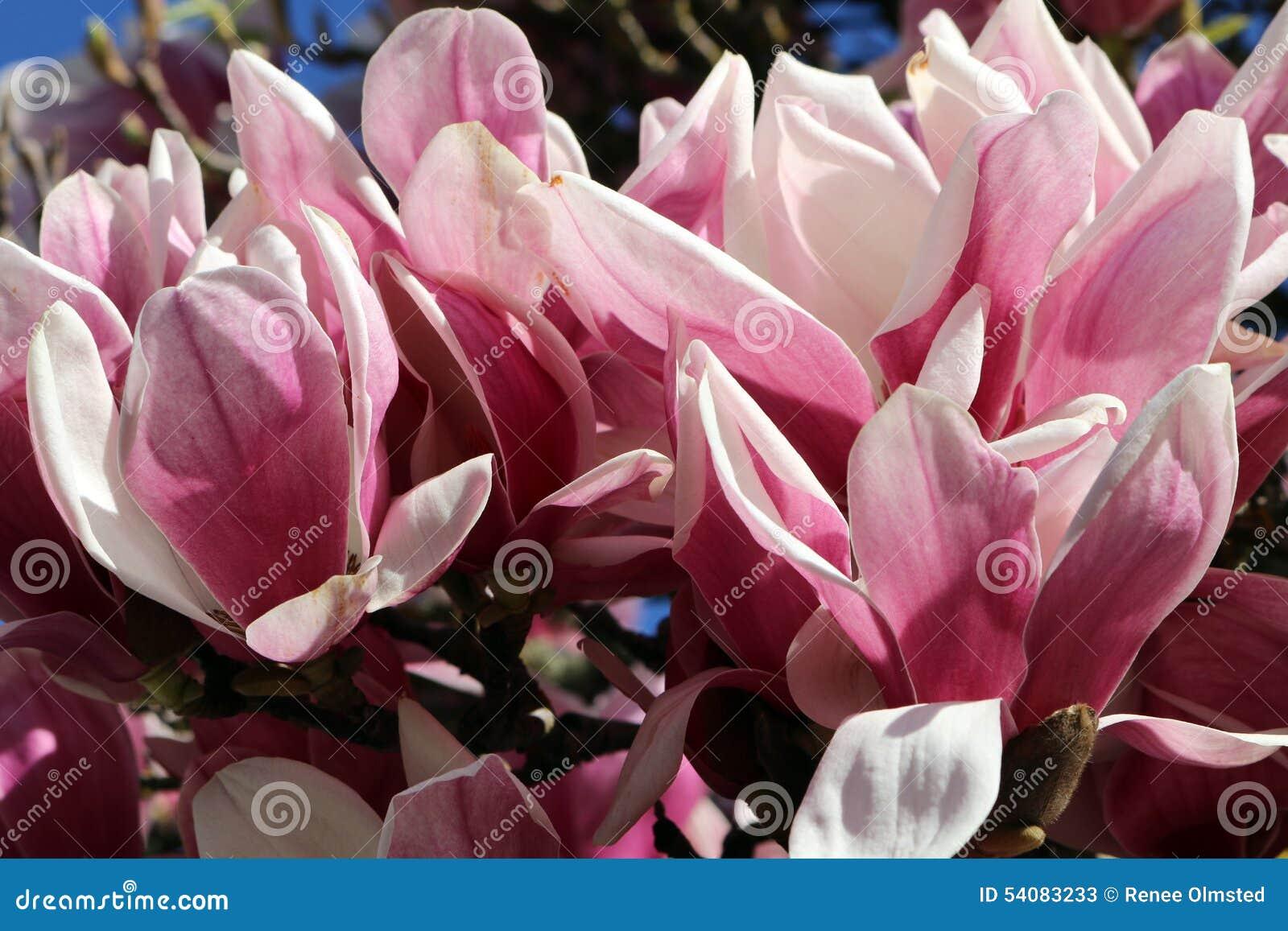 Magnoliabloesem