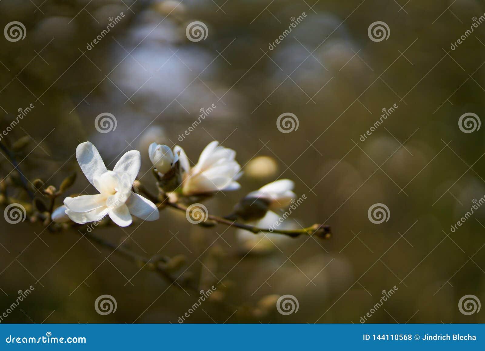 Magnoliablomma i blomning