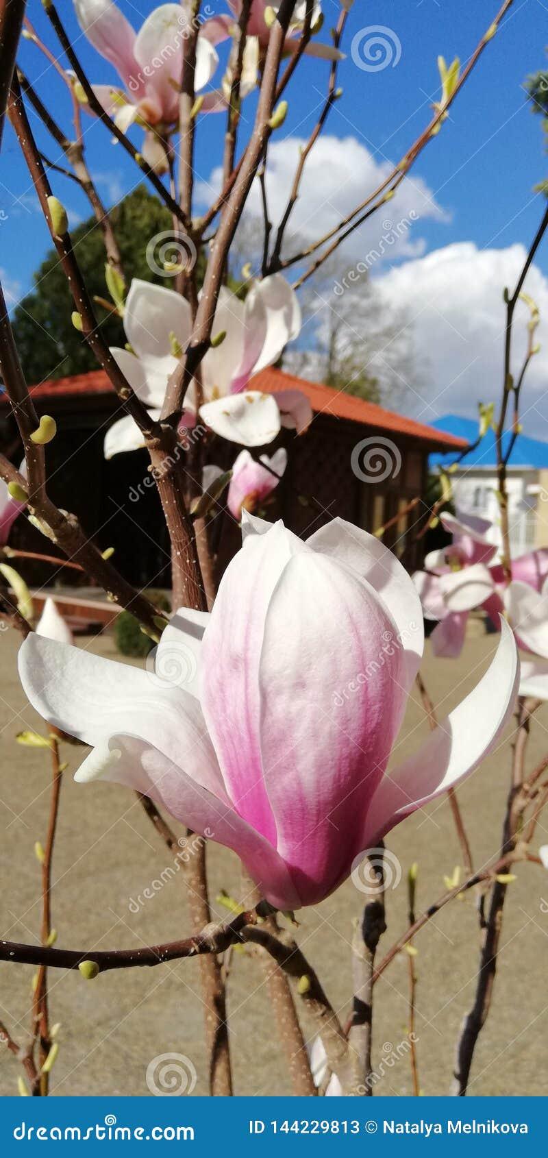 Magnoliablommaknopp mot den blåa himlen och de vita molnen