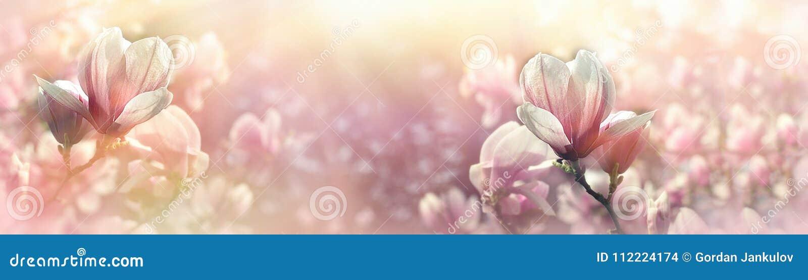 Magnoliablomman tände vid solljus - härlig blomning