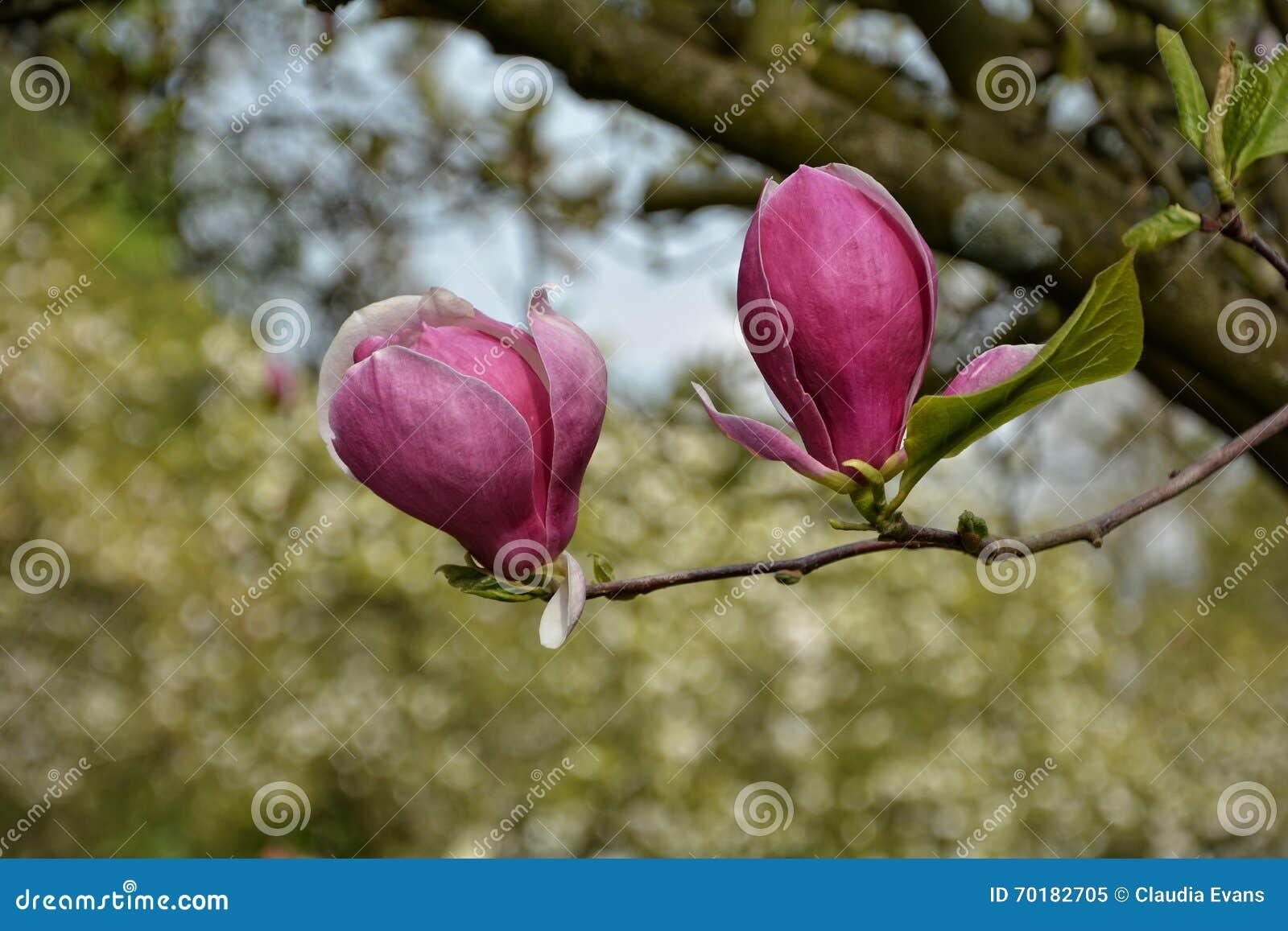 Magnoliaen blomstrar på treen